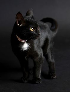black cat - by The Furrtographer - SF Bay Area Pet Photography