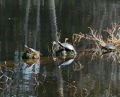 3 Painted Turtles on a log in NH