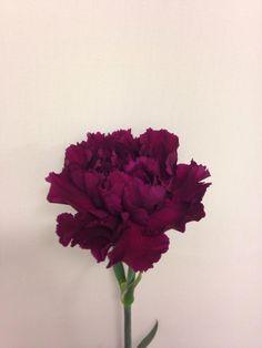 Norsk navn: Nellik Botanisk navn: Dianthus