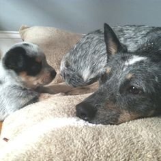 I want a Blue Heeler! = I have one her name is Layla & she looks just like th - Layla Baby Name - Ideas of Layla Baby Name - I want a Blue Heeler! = I have one her name is Layla & she looks just like this one. Austrailian Cattle Dog, Dog Rules, Wild Dogs, Dogs And Puppies, Doggies, Best Dogs, Dog Breeds, Dog Cat, Cute Animals