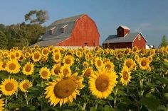Sunflower Farm- Love the red barn and the sunflowers. Country Barns, Country Life, Country Living, Country Charm, Barn Living, Country Roads, Big Red Barn, Beautiful Places, Beautiful Pictures