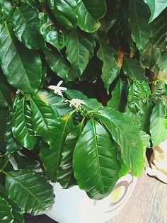 #Coffea #arabica #fiori #frutti #capsuleandcoffee #glispecialistidelcaffe #Fano #Pesaro #Capsule #Caffe #Cialde