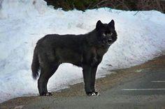 Alaska Confirms Massive Decline in Rare Wolves, Still Plans to Hunt ...
