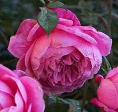 Mrs. B.R.Cant- antique garden rose- blooms year round- large flowers- very fragrant