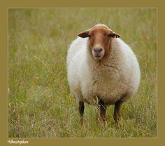 German sheep called rotfuchs coburger ( red fox Coburg)