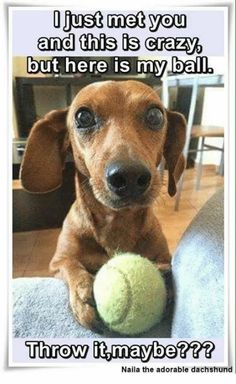 """Receive terrific ideas on """"dachshund puppies"""". They are on call for you on our website. Dachshund Funny, Dachshund Puppies, Weenie Dogs, Dachshund Love, Funny Dogs, Cute Puppies, Chihuahua, Cute Dogs, Daschund"""