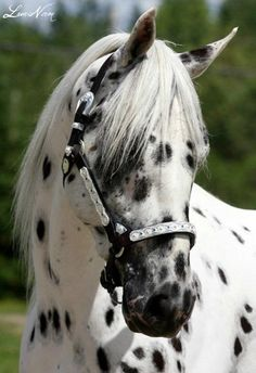 Beautiful leopard appaloosa!♥