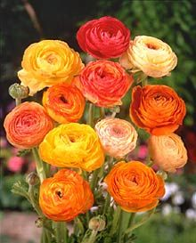 ranunculus (ranunculus asiaticus) - you are radiant with charms