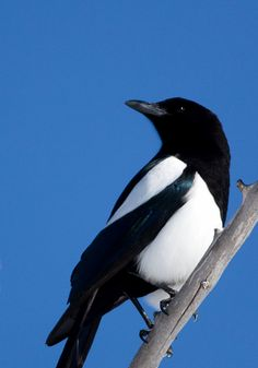 Wildlife Photos Magpies Photos