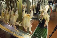 Less Regulation for Poultry Industry 2013 -- The United States Department of Agriculture is set to dramatically reduce its oversight of the nation's largest poultry slaughterhouses—and will allow companies to speed up their kill lines. Currently, four inspectors oversee each kill line, which turns out 140 birds per minute. Under the new rules, due to take effect by September 2014, just one inspector would oversee kill lines running 25 percent faster—slaughtering 175 birds per minute.