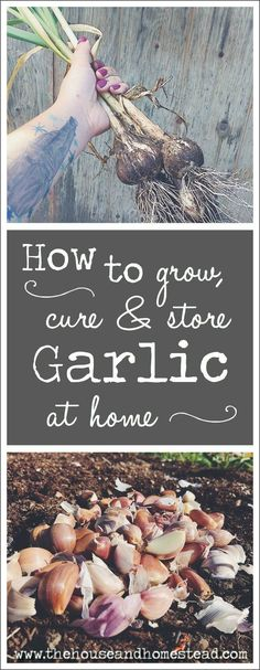 Garlic is one of the easiest crops to grow at home, and growing it yourself means you can be sure you're reaping the full health benefits of garlic while ensuring your garlic is safe and natural. Learn how to grow, cure and store garlic at home for good eating all year long! #growinggarlic #gardening #foodstorage How To Store Garlic, Garlic Seeds, Garlic Health Benefits, Victory Garden, Pasta Maker, Lean To, Replant, Homemade Pasta, Food Storage