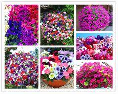 RARE  Pan-american n flower petunia petals double waterfall pluguglies flower seeds -50 pcs
