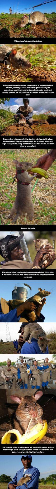 Bueno, tengo fobia a las ratas, pero esto no está bien. Se han construído cantidad de objetos que podrían detectar cualquier cosa, pero claro cuestan dinero, es más económico coger a un pobre animal, que si muere no le importa a nadie. Le Llaman cínicamente héroe.