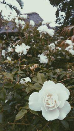 White rose garden. VSCO edited