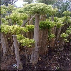 Jual Pohon Anting Putri | Pohon Anting Putri murah | Grosir Tanaman Hias | Jual Bonsai Anting Putri | Bonsai Anting Putri | ~ Tukang Taman | Jasa Tukang Taman Murah | Jasa Pembuatan Taman | Jual Tanaman Hias | Jual Rumput