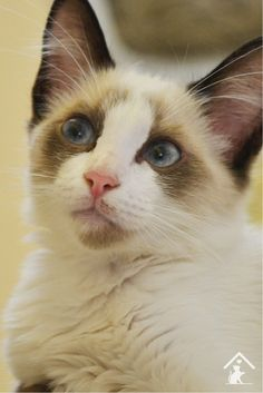 Rag Doll Cat Kittens Ragdoll cats are quirky, beautiful and playful! Click the pin to read our guide. Ragdoll Cat Breed, Cat Breeds, Cats And Kittens, Fur, Dolls, Animals, Beautiful, Amazing, Tips