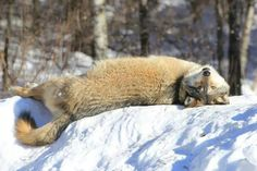 Aidan relaxing on his favorite snow pile at International Wolf Center