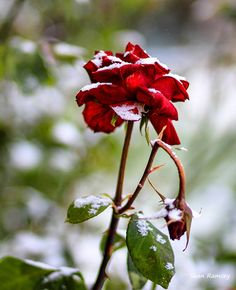 Hey, I found this really awesome Etsy listing at https://www.etsy.com/listing/215986979/winter-photography-rose-print-snow-photo