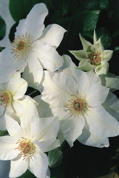 """-Mrs. George Jackman-Large 6"""" creamy-white fully rounded flowers. Petals are overlapping and anthers are light brown. Blooms June-July. Available @ Bluemel's Garden & Landscape Center www.bluemels.com"""