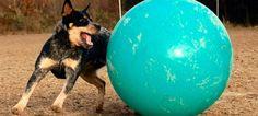 20 tiernas fotos que nos muestran el antes y el después de mascotas que han crecido con juguetes - http://dominiomundial.com/20-tiernas-fotos-que-nos-muestran-el-antes-y-el-despues-de-mascotas-que-han-crecido-con-juguetes/