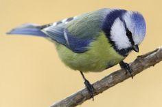Wie soll man nur all die gefiederten Kerlchen auseinanderhalten? Am besten achtet man auf mehrere Kennzeichen, um eine Vogelart sicher zu identifizieren: Größe und Gestalt, Färbung des Gefieders, das Verhalten und natürlich der Gesang bieten Anhaltspunkte.