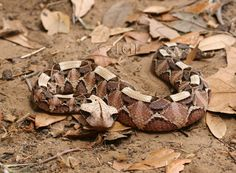 Gaboon viper living in sub-Saharan Africa has the longest fangs among snakes and yields the highest amount of venom in a single bite. Gaboon Viper, Snakes, Lizards, Pit Viper, Snake Art, Snake Venom, Rhinoceros, Reptiles And Amphibians, African Animals