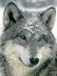 """Such a """"kind"""" wolf expression! Love it!"""