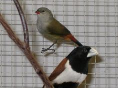 Tri-Color Nun and Swee Waxbill