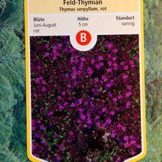 Der Sand-Thymian ist, wie alle anderen Thymiansorten, eine wohlriechende, robuste und immergrüne Pflanze. Mit seinen kleinen, wunderschönen und in Etagen angeordneten lilarosa Blüten, die von Juni bis September blühen, ist er ein dekorativer Gartenfreund. Seine Stängel sind 5-10cm lang und leicht behaart. Ideal für einen Steingarten, eine Pflanzmauer, aber auch ganz klassisch im Kräuterbeet oder als Duftrasen. Thymus serpyllum ist sehr genügsam und benötigt viel Sonne. Auch ohne Blüte…