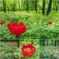 Au innebunit bujorii! O rezervatie de bujori mai putin cunoscuta si ma bucur pentru asta!  #wild #peonies #landscape #spring #romania #flowers #forest #nature