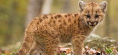 В Приморском крае поселилась единственная на Дальнем Востоке горная львица, которая будет жить в зоопарке «Чудесный». Как узнал корреспондент издания «Экология регионов», сегодня рано утром