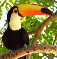 Ramphastos toco Mul., popularly known as tucanucu, tucanacu, tucano-grande (big toucan) and tucano-boi (bull tucan). It live in the forests of Central America and South America.
