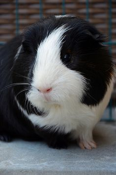 What Is The Best Guinea Pig Bedding? Photo by picto:graphic Guinea pig owners routinely utilize wood or paper types of shavings as the bedding for their pets. Baby Guinea Pigs, Guinea Pig Care, Baby Pigs, Baby Bunnies, Happy Animals, Cute Funny Animals, Guniea Pig, Guinea Pig Bedding, Rabbit Cages