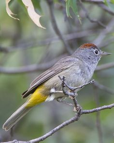 Colima warbler, Oreothlypis crissalis: Sierra Madre Occidental of cnt-MX, breeds in SW-TX in the Chisos Mtns of Big Bend NP