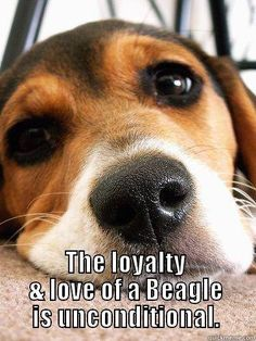 For love of a beagle.....