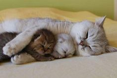 Cute kittens sleeping with mommy cat - follow the pic for more awwww