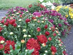 Learn about when to plant garden mums, including tips to help fall garden mums survive winter, from the experts at HGTV.