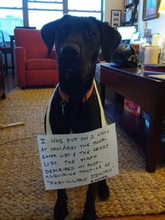 """Hi! This is Pepper. She is the sweetest girl in the world, but loves eating poop and has a tad too much energy. The sign says, """"I was put on two lists at daycare- the poop-eater list and the crazy list. The staff described my poop acquiring tactics as 'particularly stealthy.'"""" Keep up the good shaming! - Dog Shaming"""