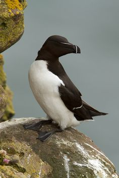 Razorbill (Alca torda islandica), Fowlsheugh, Crawton, Scotland, Great Britain
