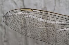 """Dragonfly Wing"" by Stephen Begin"