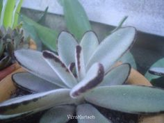 Suculenta - Orelha de lebre