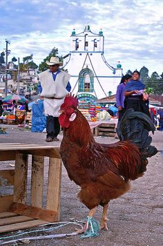 chiapas - gallo indio by anderzu, via Flickr