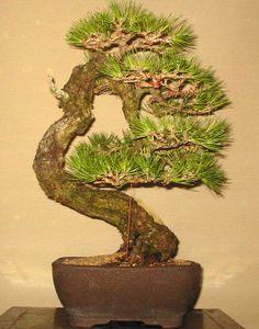JPB:Bonsai Collection 8 | 山採り黒松.