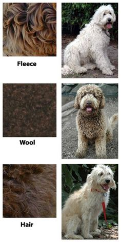 Alberta Breeder of Australian Labradoodles for sale from Praire Doodles
