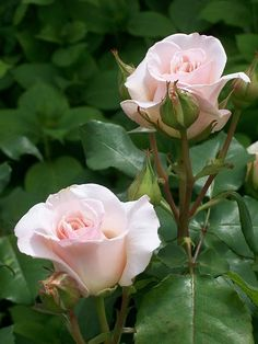David Austin's French Lace Rose by ntemporale