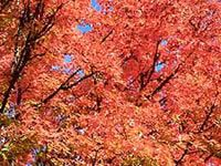 Maple Tree.  There are 125 different types of maple trees.