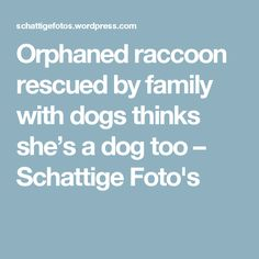 Orphaned raccoon rescued by family with dogs thinks she's a dog too – Schattige Foto's