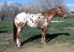 TS Raki, so beautiful Baby Horses, Cute Horses, Pretty Horses, Wild Horses, Beautiful Horses, Farm Animals, Animals And Pets, Horse Coat Colors, American Quarter Horse