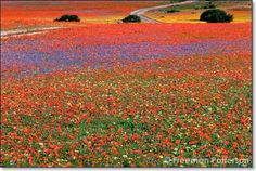 Namaqualand, S. Africa. A long time from now I'll go. A pt told me about this place. She was old but said this was the most amazing place she'd ever been.