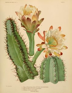 cactus tip & flower - biodiversity heritage library